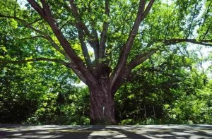 At 14 feet thick and 150 feet tall, Dover Oak is the largest white oak tree on the Appalachian Trail.